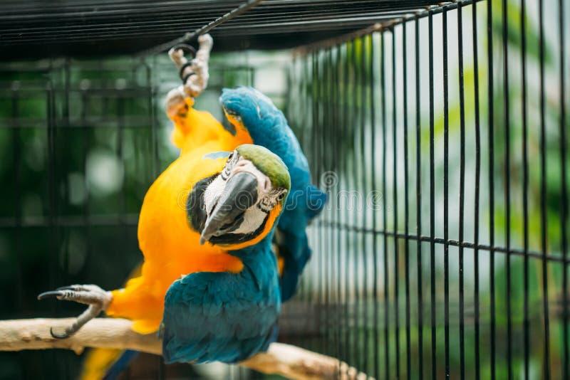 亦称青和黄色金刚鹦鹉青和金子金刚鹦鹉在动物园里 库存图片
