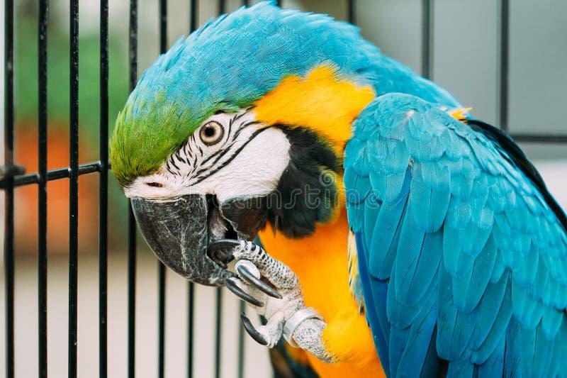 亦称青和黄色金刚鹦鹉青和金子金刚鹦鹉在动物园里 图库摄影