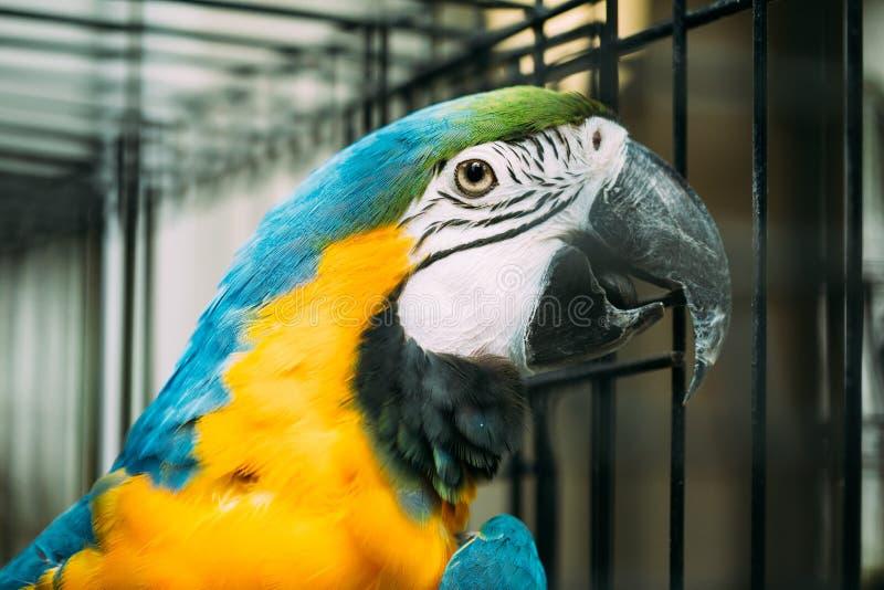 亦称青和黄色金刚鹦鹉青和金子金刚鹦鹉在动物园里 库存照片