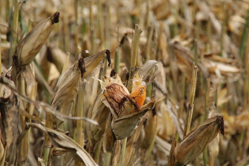 亦称麦地,玉米玉米,版本3 免版税库存照片