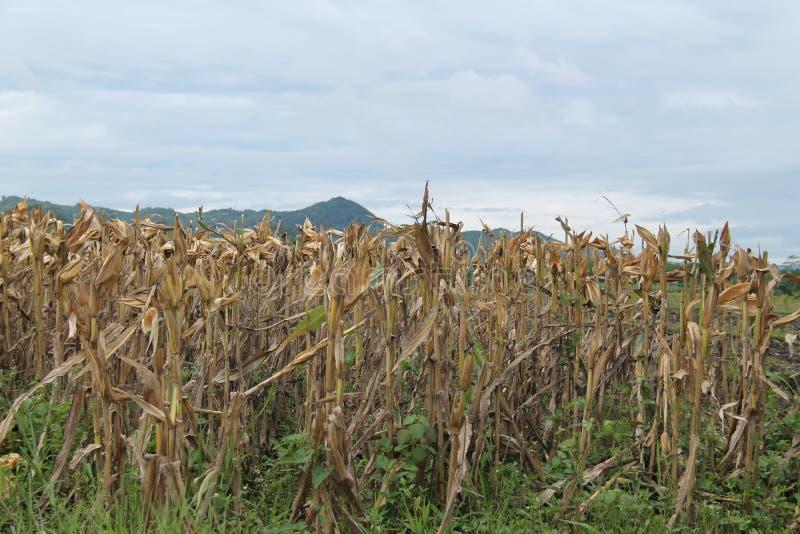 亦称麦地,玉米玉米,版本4 库存图片