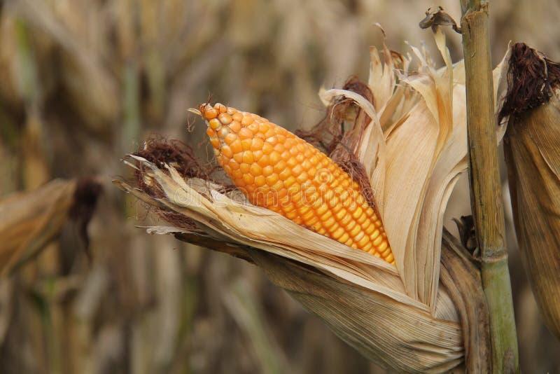 亦称麦地,玉米玉米,版本5 免版税图库摄影