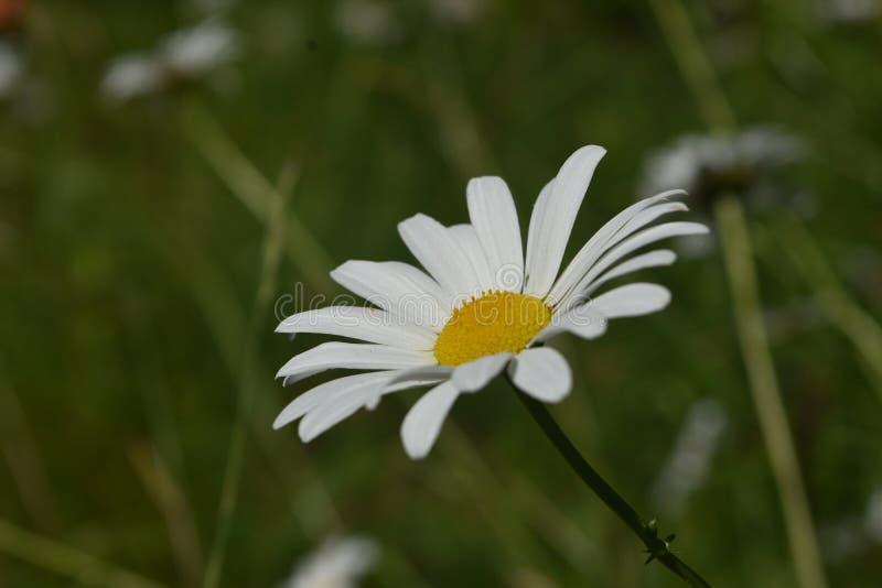 亦称bruisewort共同的雏菊开花