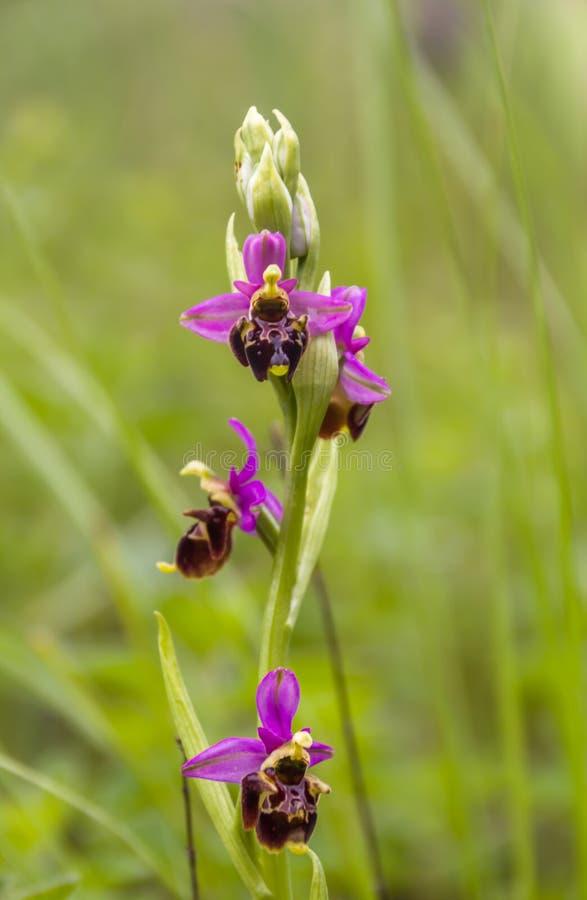 亦称Ophrys apifera蜂兰花-属于家庭兰科的一个四季不断的野生草本植物, 免版税库存图片