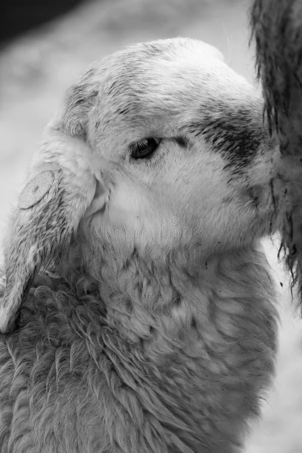 产小羊吮牛奶的小绵羊从他的黑白的母亲 库存图片