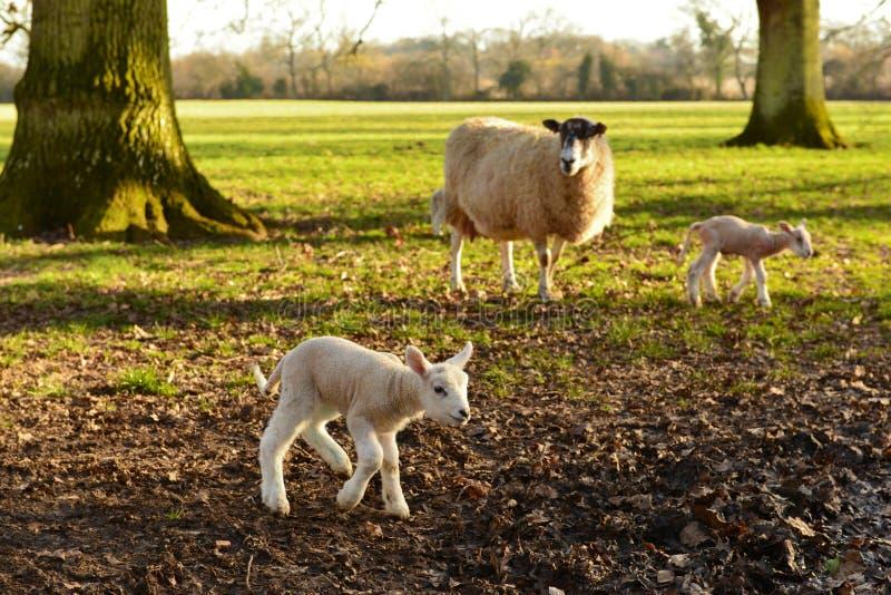 产小羊新出生的绵羊 库存照片