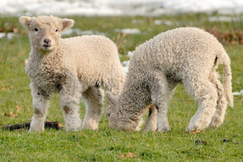 产小羊新出生 免版税库存照片