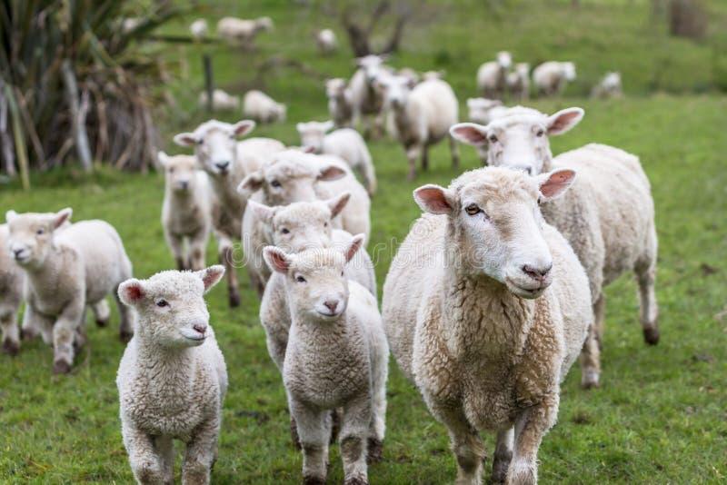 产小羊绵羊 免版税库存图片