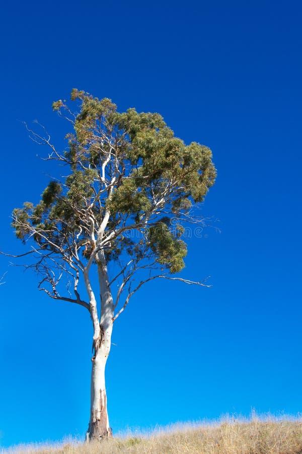 产树胶之树白色 图库摄影