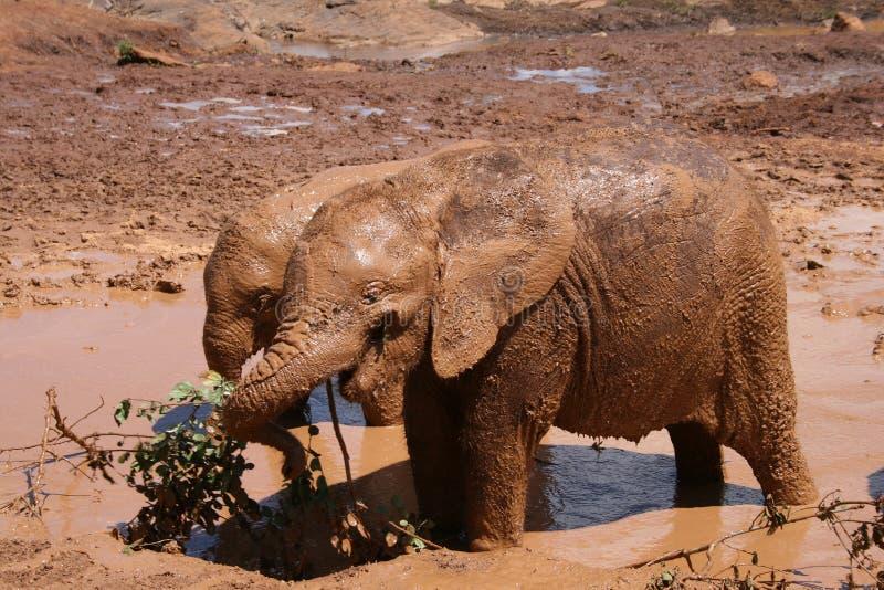 产犊大象 图库摄影