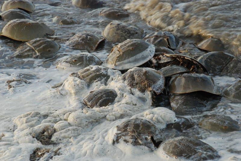 产生在精液的鲎填装了在特拉华湾的海岸线的水 库存图片