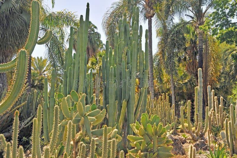 亨廷顿植物园:仙人掌森林 库存照片