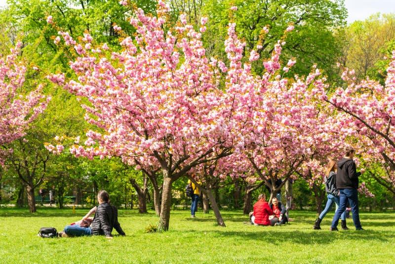 享受一个温暖的春日的人们,在樱花树下在布加勒斯特的日本庭院里 图库摄影