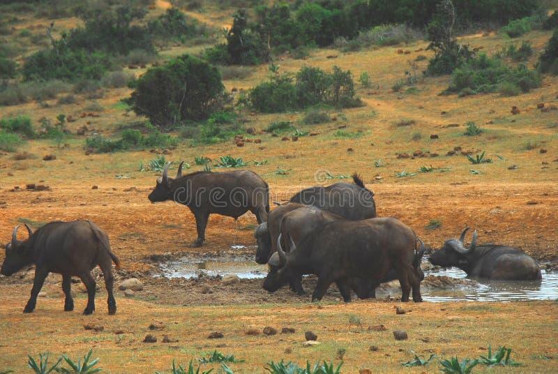 享受在一个水坑的Cape Buffalo非洲A牧群一个垂度 免版税库存照片