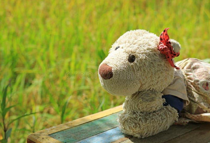 享受在稻田与成熟粮食作物,在长木凳的一个女孩北极熊软的玩具旁边的阳光 免版税库存照片