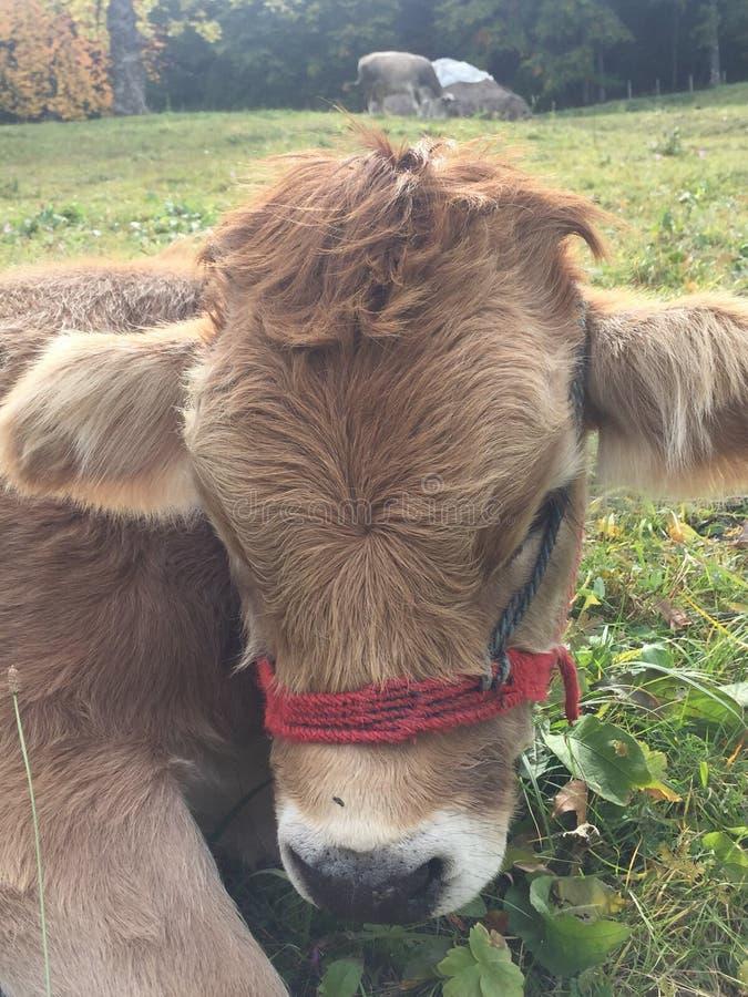 享受自由的小的小牛 免版税库存照片
