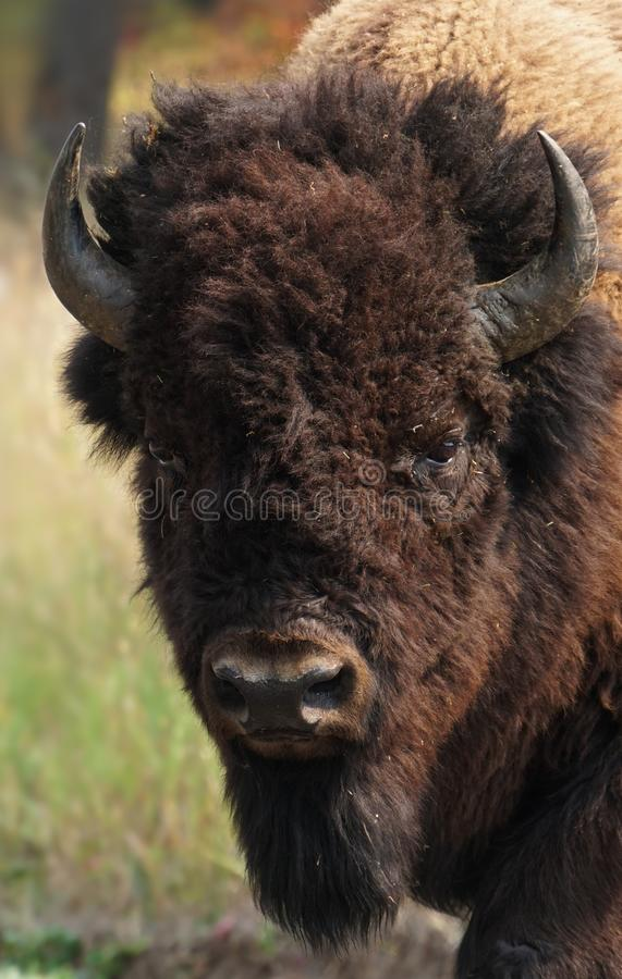享受黄石的富饶美丽的北美野牛男孩 库存图片