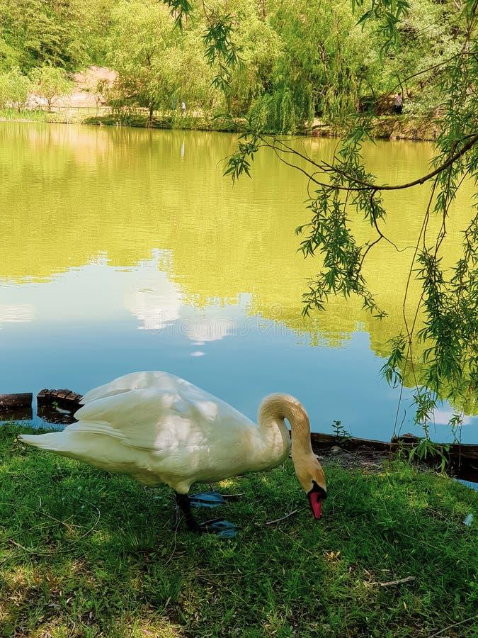 享用在湖附近的美丽的天鹅 吃在小树下的饥饿的天鹅 免版税库存图片
