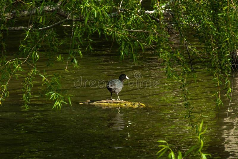 享用太阳的鸭子 库存图片