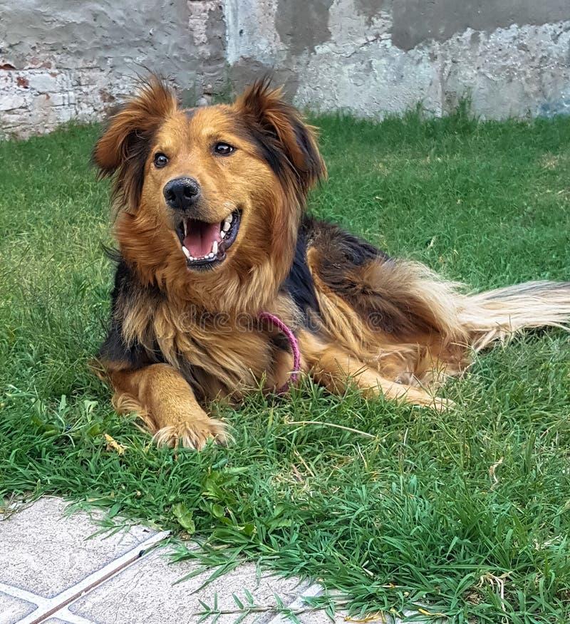享用庭院的狗 狗幸福 免版税库存照片
