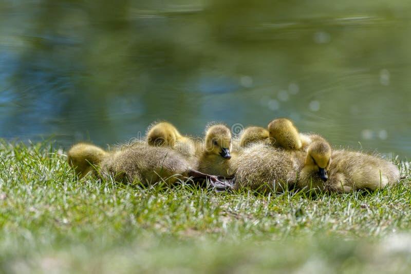 享用春天太阳的幼鹅 免版税库存图片