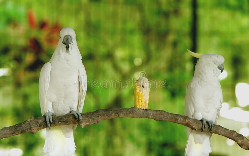 享用玉米食物的两只鹦鹉 r 免版税库存照片