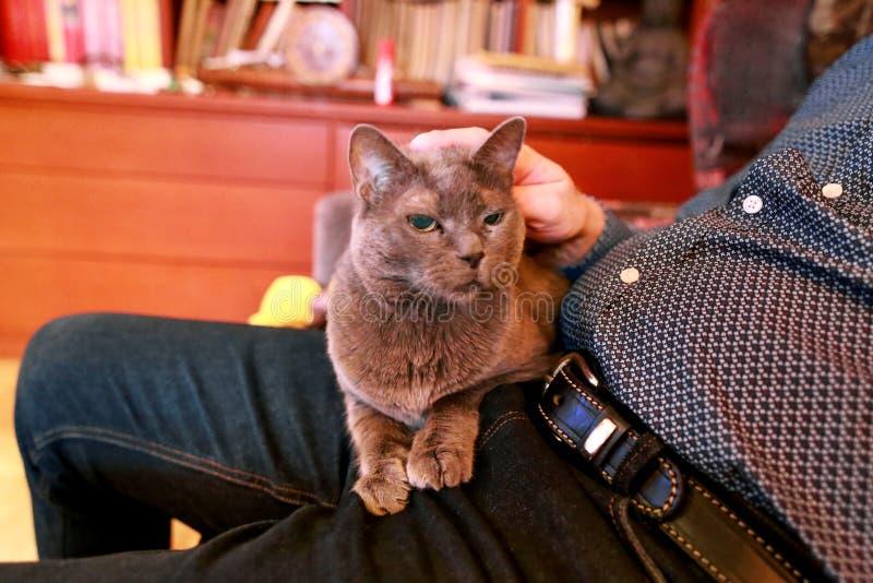 享用蓝色俄国的猫放松,说谎和是被拥抱,在家纵容和发出愉快的声音在他的膝部所有者 库存照片