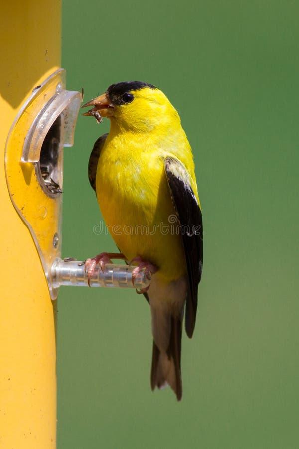 享用蓟种子的美国金翅雀在密苏里 库存图片