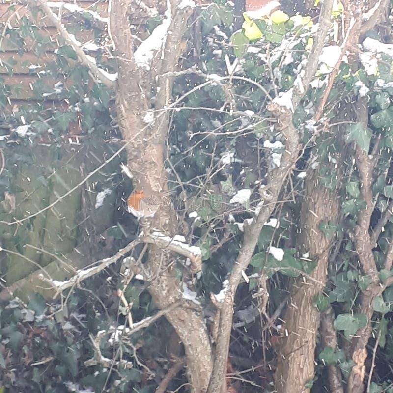 享用雪的罗宾 库存图片
