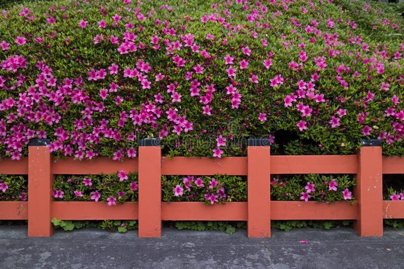 京都,日本-桃红色杜娟花树篱开花 免版税库存照片