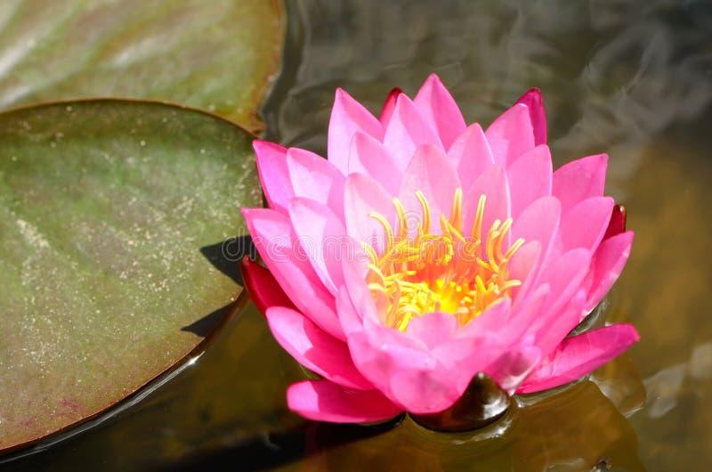 亮光桃红色莲花在池塘 免版税库存照片