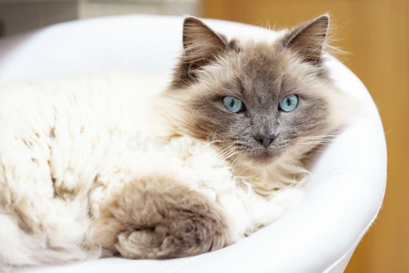 亮蓝眼睛的猫 免版税库存照片