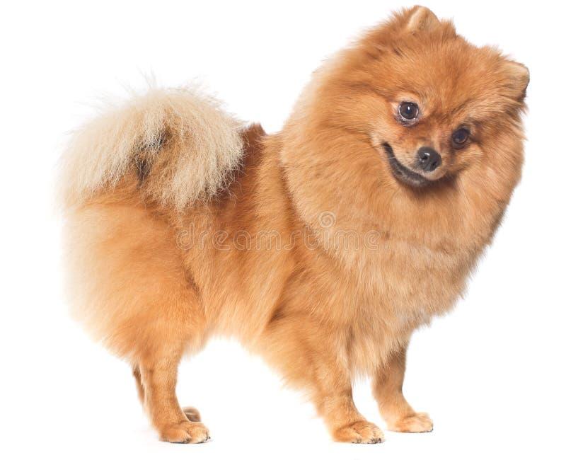亲切的波美丝毛狗狗 库存照片