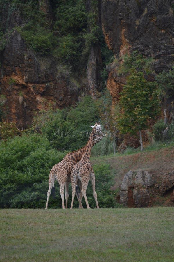 亲吻与他们的衣领的两三头长颈鹿画象交错Cabarceno老矿自然公园铁提取的 免版税图库摄影