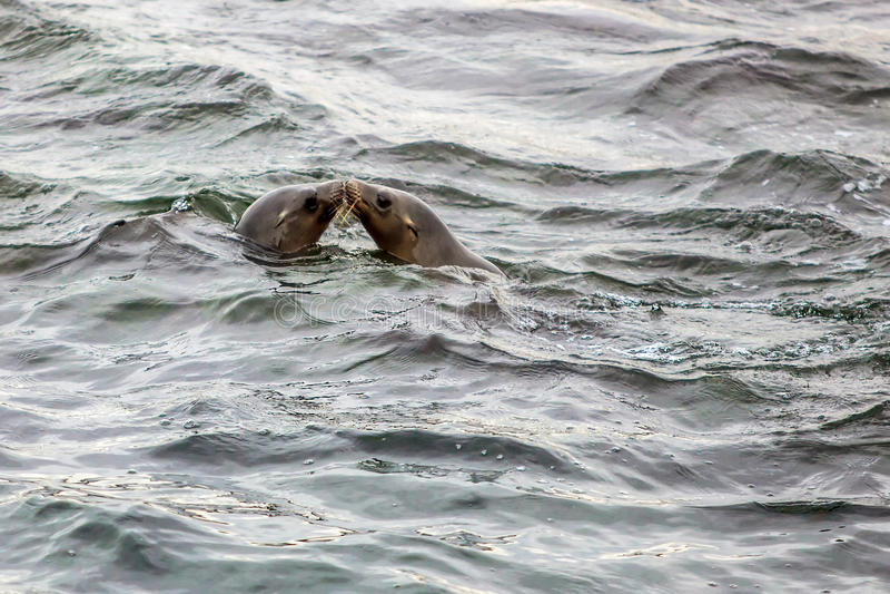 亲吻在海洋的密封 库存图片