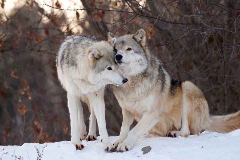 亲吻狼 免版税库存图片