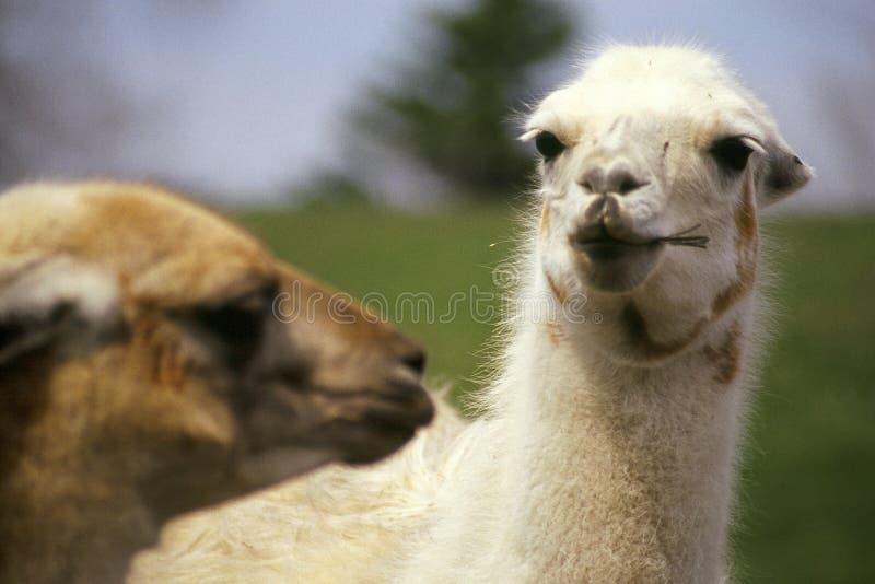 亲吻骆马 免版税图库摄影