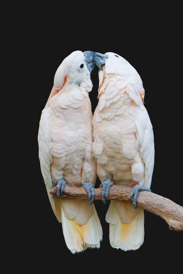 亲吻鹦鹉 免版税库存图片