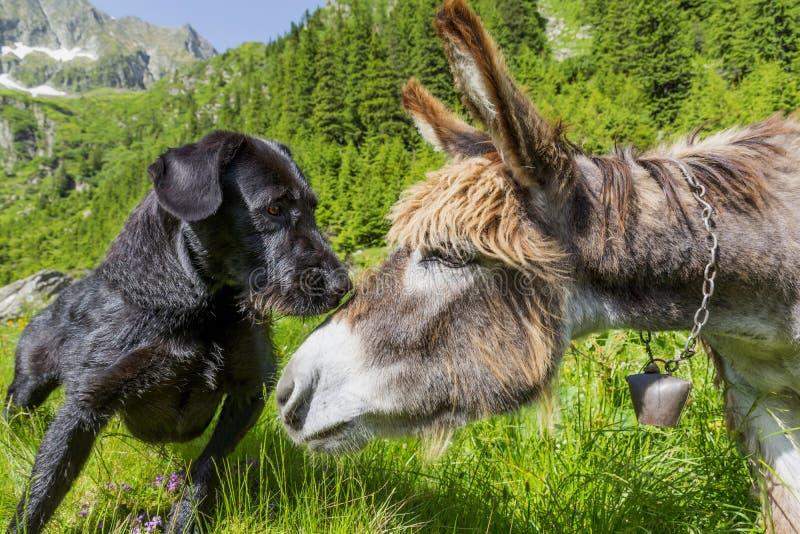 亲吻他的驴朋友关闭的狗  库存图片