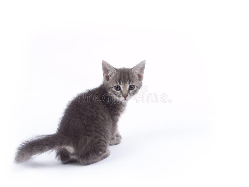 年轻人九个星期年纪灰色小猫 库存图片