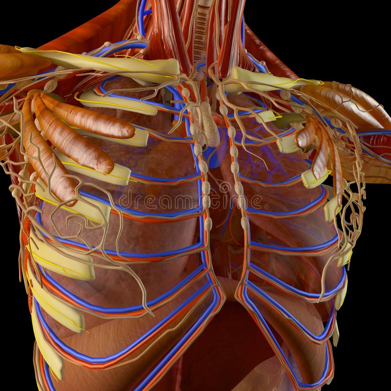人体、呼吸器官的X-射线视图和在ribcage的消化道 女主持人 向量例证