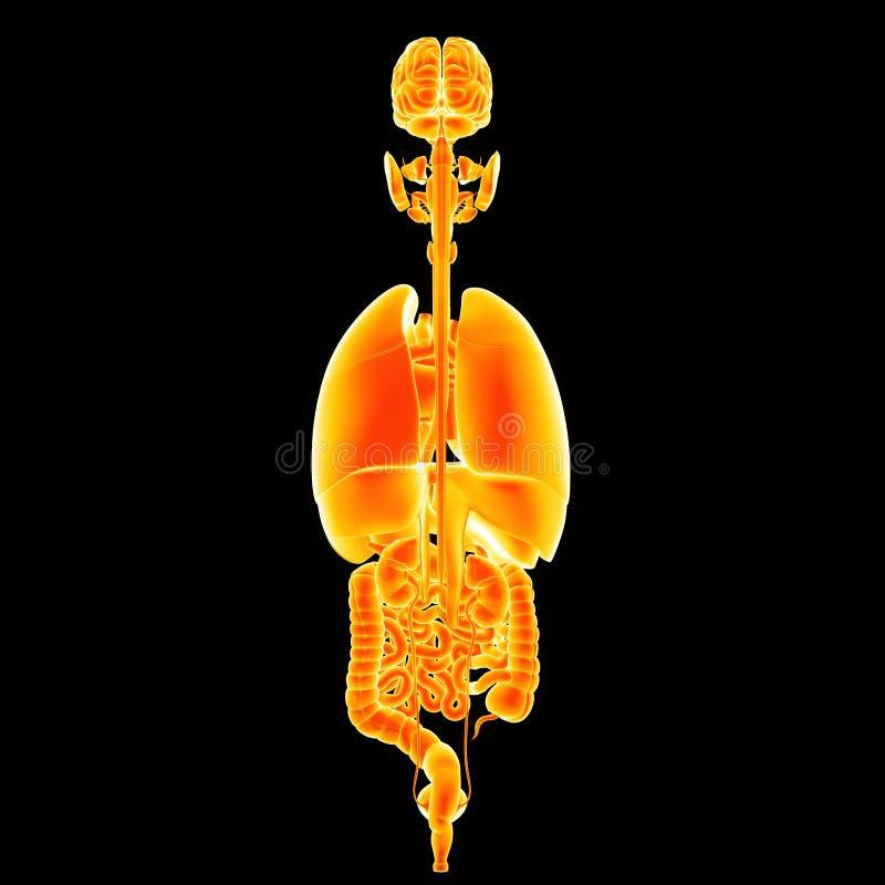 人体器官后部视图 皇族释放例证