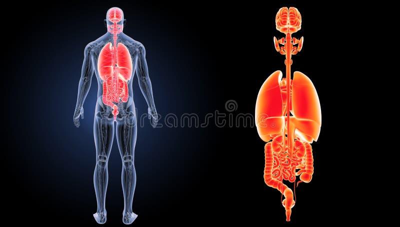 人体器官徒升有解剖学后部视图 免版税图库摄影