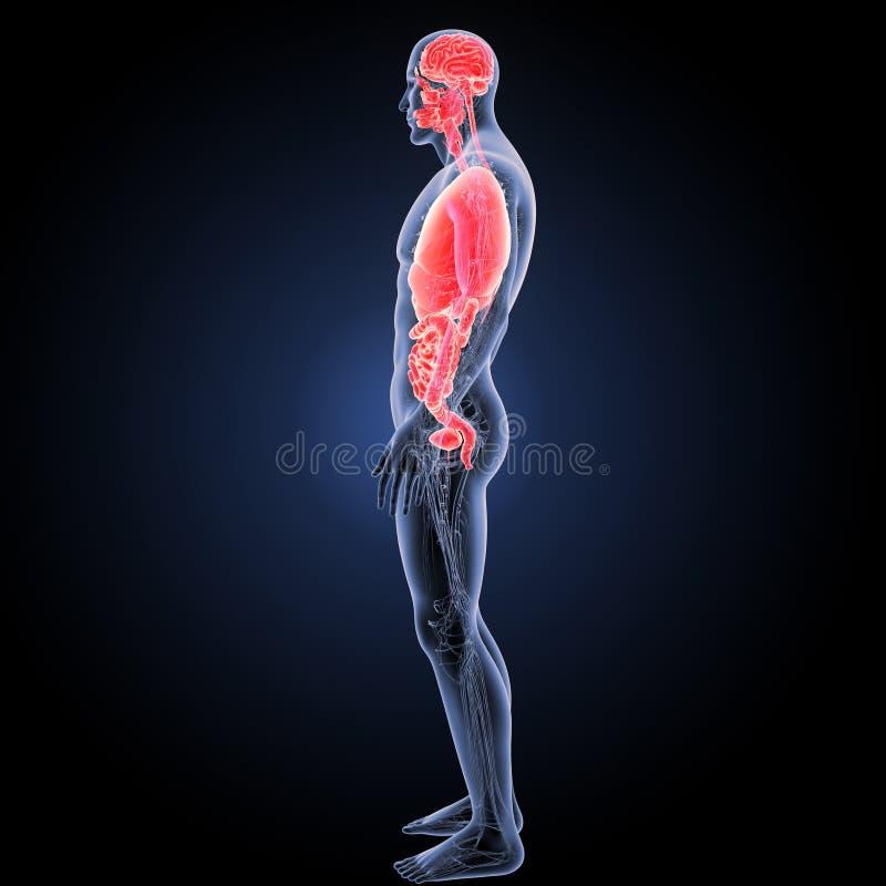 人体器官有循环系统侧面视图 免版税库存照片