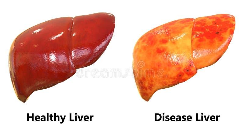 人体器官肝脏解剖学 库存例证