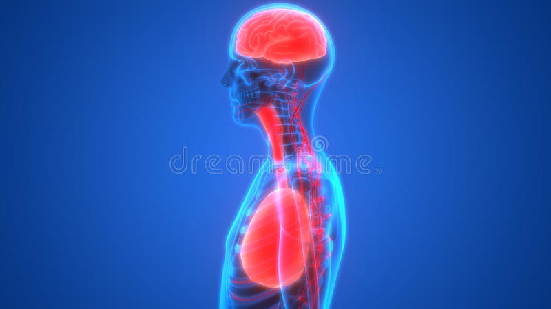 人体器官肺和脑子与神经系统解剖学 向量例证