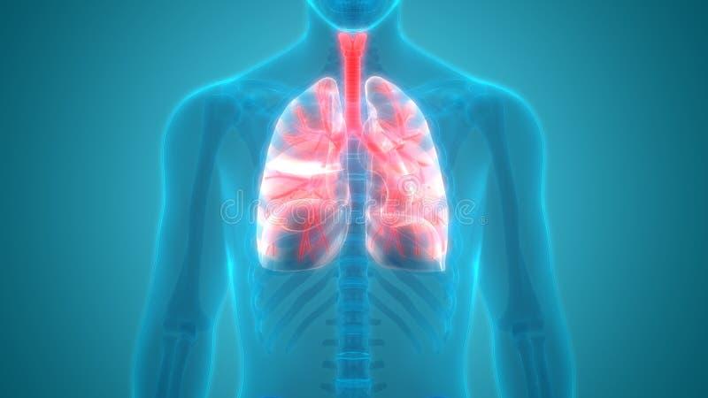 人体器官肺解剖学先前视图 皇族释放例证