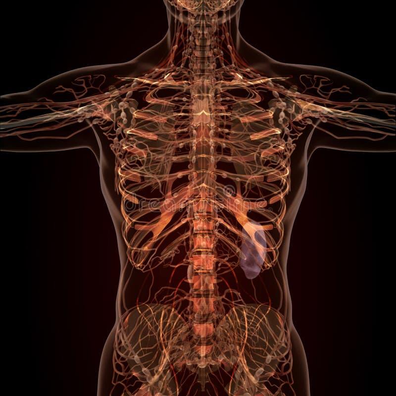 人体器官解剖学在X-射线视图的 向量例证