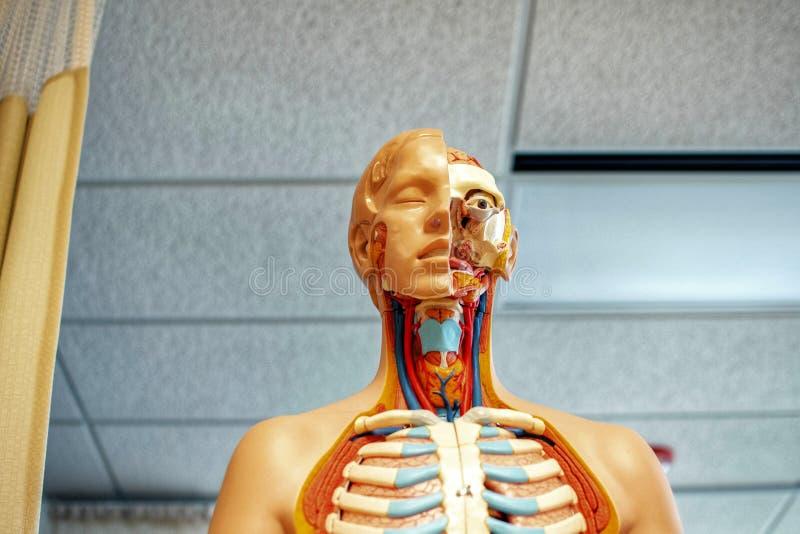 人体器官解释复制品 库存图片