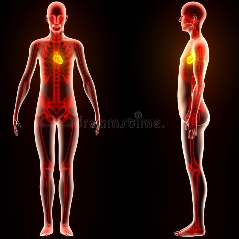 人体器官(心脏) 库存例证